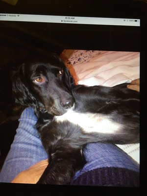 Lost English Setter in Millbrook, NY US