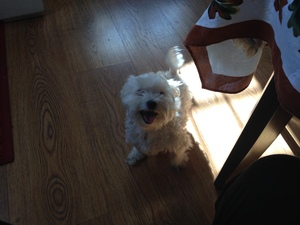 Safe Poodle in Wallingford, PA US