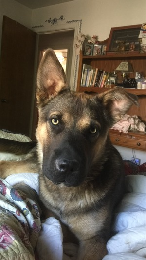 Safe German Shepherd Dog in Manteca, CA US