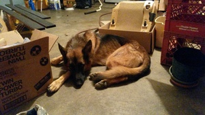 Safe German Shepherd Dog in Ballwin, MO US