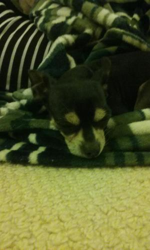 Found Chihuahua in Parkville, MD US