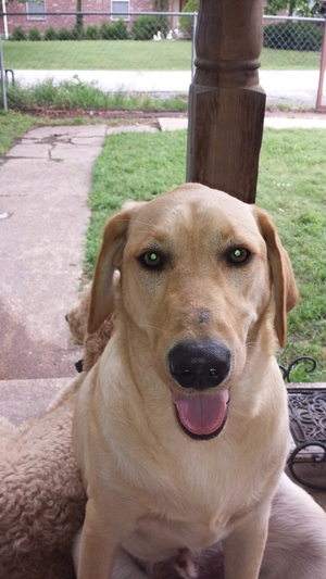 Safe Labrador Retriever in Terrell, TX US