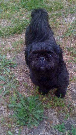 Safe Shih Tzu in Richmond, VA US
