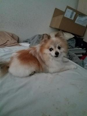 Safe Pomeranian in Sacramento, CA US