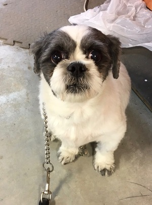 Found Shih Tzu in Brooklyn, NY US