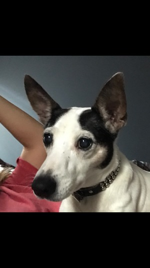Safe Rat Terrier in Metairie, LA US