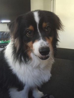 Safe Australian Shepherd in Dallas, TX US