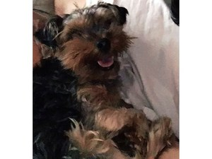 Safe Yorkshire Terrier in Orland Park, IL US