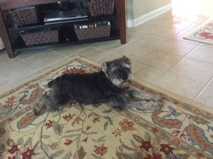 Safe Miniature Schnauzer in Meridianville, AL US