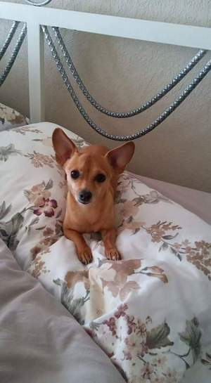 Safe Chihuahua in San Antonio, TX US