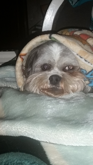 Safe Shih Tzu in San Antonio, TX US