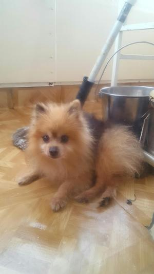 Safe Pomeranian in Miami, FL US