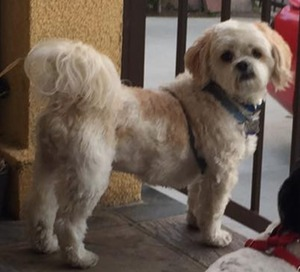 Safe Lhasa Apso in Los Angeles, CA US