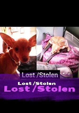 lost chihuahua panini in antioch ca us 94509 fido finder
