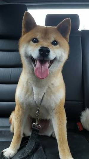 Lost Shiba Inu in Seattle, WA US