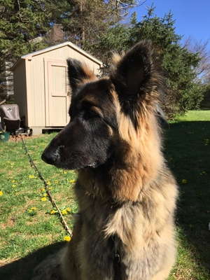 Safe German Shepherd Dog in Osterville, MA US