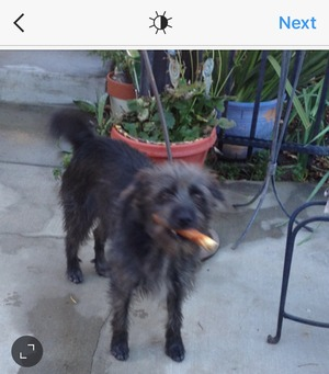 Safe Wire Fox Terrier in Banning, CA US