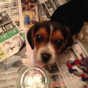 Safe Beagle in Burlington, WI US