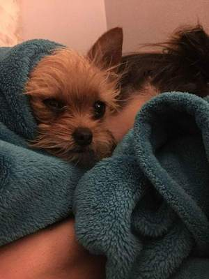 Safe Yorkshire Terrier in San Angelo, TX US