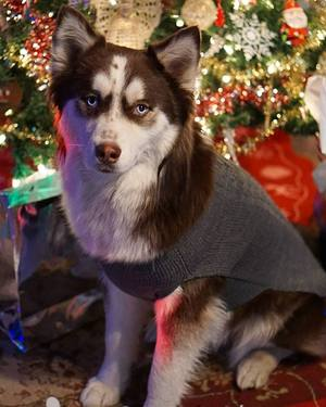 Safe Siberian Husky in Oklahoma City, OK US