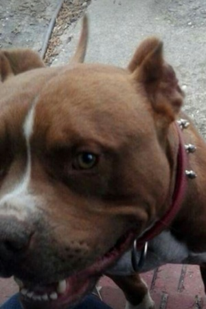 Safe Pit Bull in Fayetteville, NC US