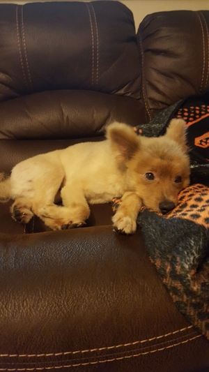 Safe Pomeranian in Elk Grove, CA US