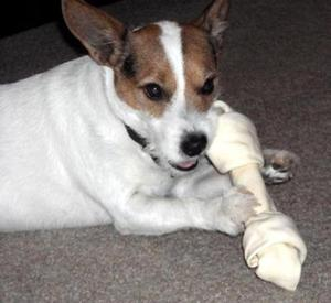 Safe Jack Russell Terrier in Seneca, IL US