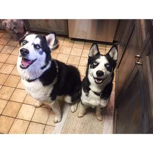 Safe Siberian Husky in Aurora, CO US