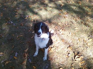 Lost Border Collie in Cameron, SC US