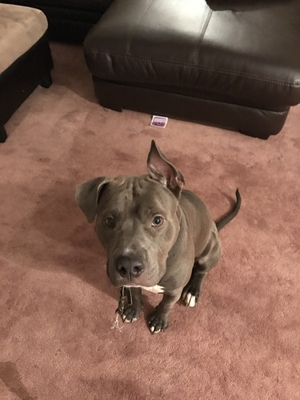 Safe Pit Bull in Brooklyn, NY US