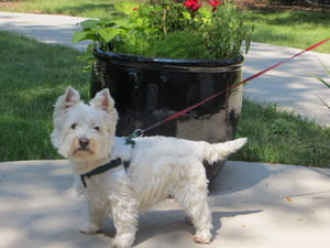 Safe West Highland White Terrier in Denver, CO US