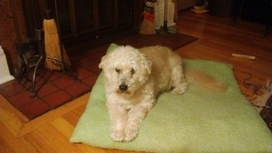 Safe Poodle in Syracuse, NY US