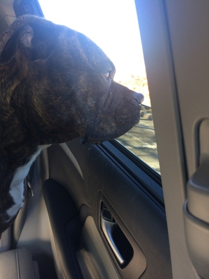 Found Boxer in Richmond, VA US