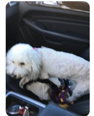 Safe Bichon Frise in Allen, TX US