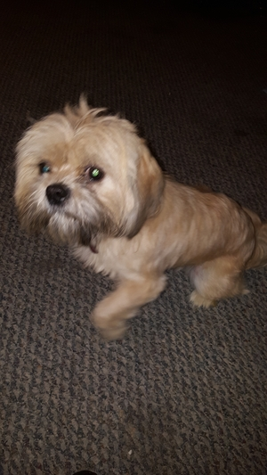 Safe Shih Tzu in Beltsville, MD US