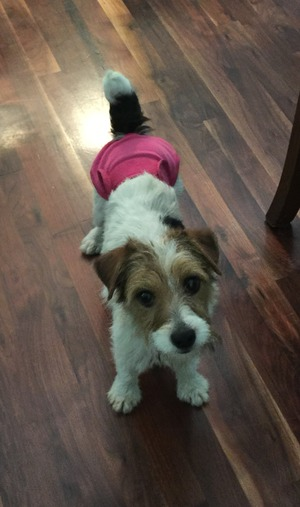 Safe Jack Russell Terrier in Oak Island, NC US