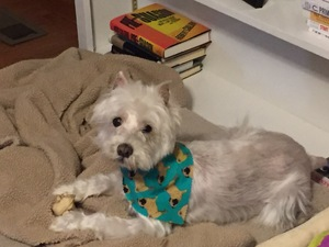 Lost West Highland White Terrier in Southampton, PA US