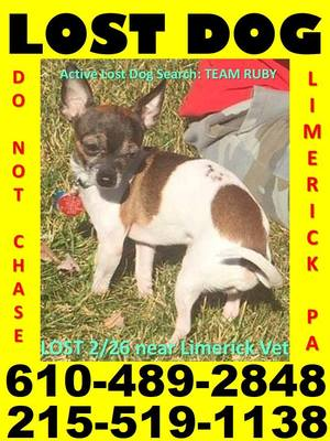 Safe Chihuahua in Royersford, PA US