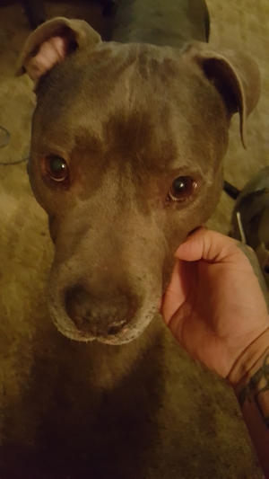 Found Pit Bull in Vineland, NJ US