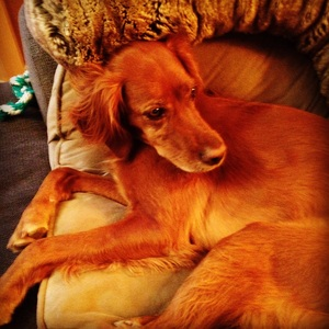 Safe Irish Setter in Tucson, AZ US