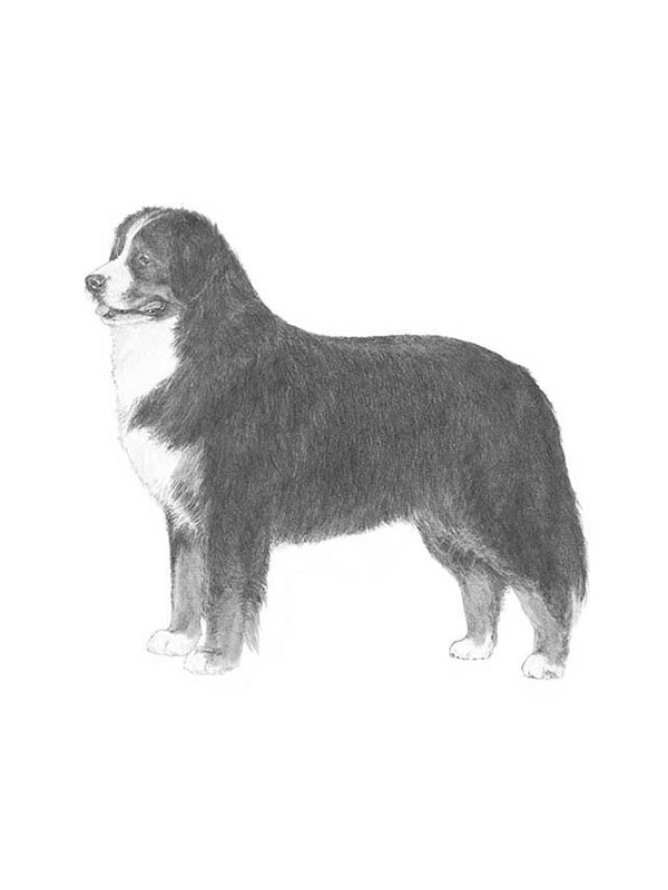 Found Bernese Mountain Dog in Sparks, NV US