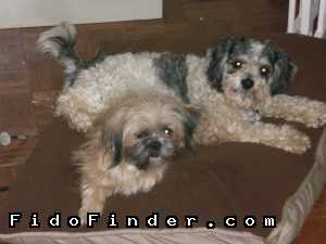 Safe Lhasa Apso in Charlotte, NC US