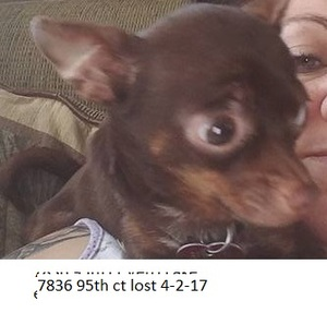 Safe Chihuahua in Vero Beach, FL US
