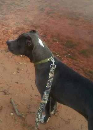 Safe Pit Bull in Norman, OK US