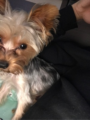 Safe Yorkshire Terrier in Alhambra, CA US