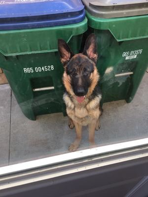 Safe German Shepherd Dog in Irvine, CA US