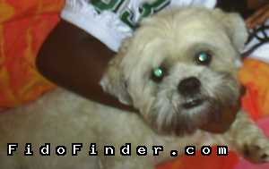 Safe Lhasa Apso in Desoto, TX US
