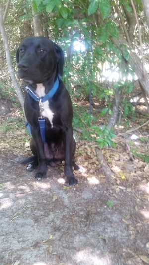 Safe Labrador Retriever in Kissimmee, FL US