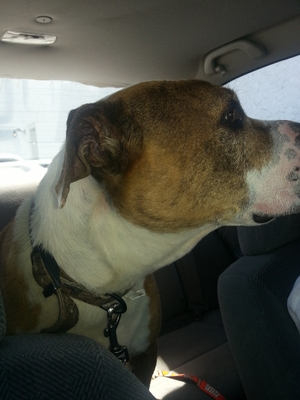 Found Pit Bull in Newark, DE US