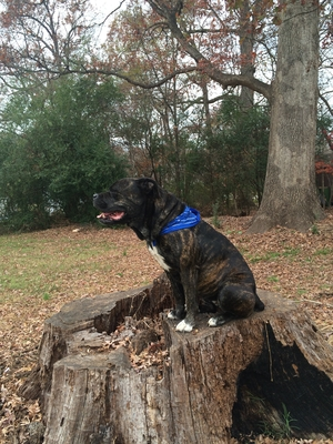 Safe American Bulldog in Waxhaw, NC US
